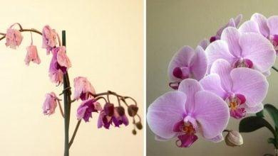 Photo of Solmuş Orkideyi 1 Malzemeyle Yeniden Canlandırın